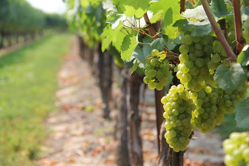 Grapes at A Winery