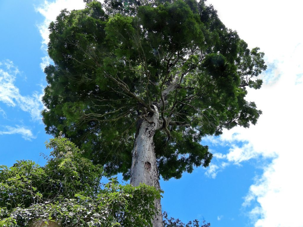 1. Dinizia jueirana-facao - 1024 x 768 new species of tree