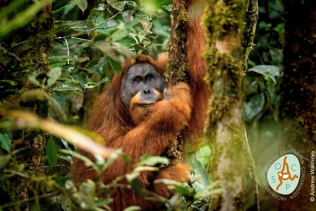 new orangutan species