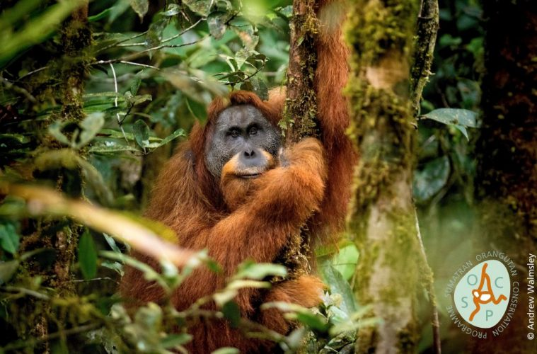 new species orangutan