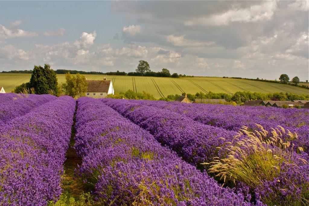 Cotswold lavender farms