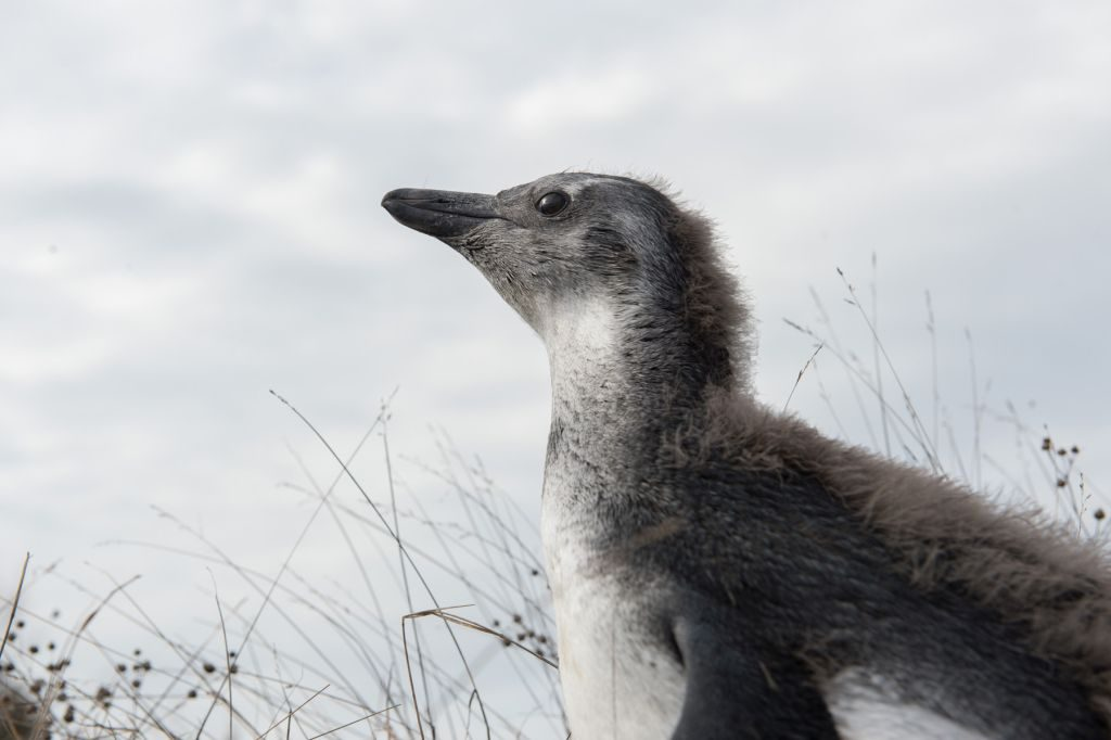 Black-footed-Penguin-Chick