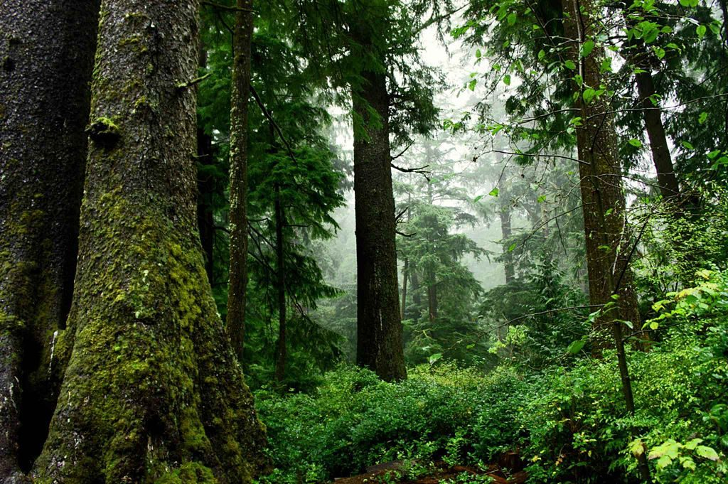 Old growth forest: A top west coast travel destination