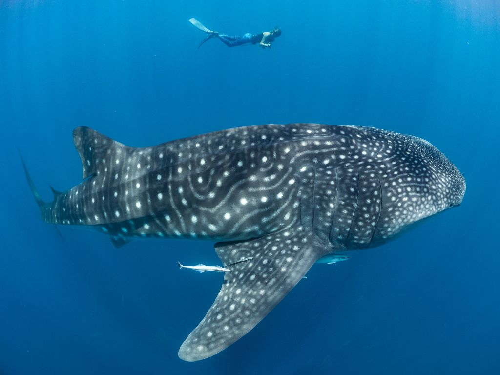 Swim with whale sharks: How to make sure the encounter is responsible