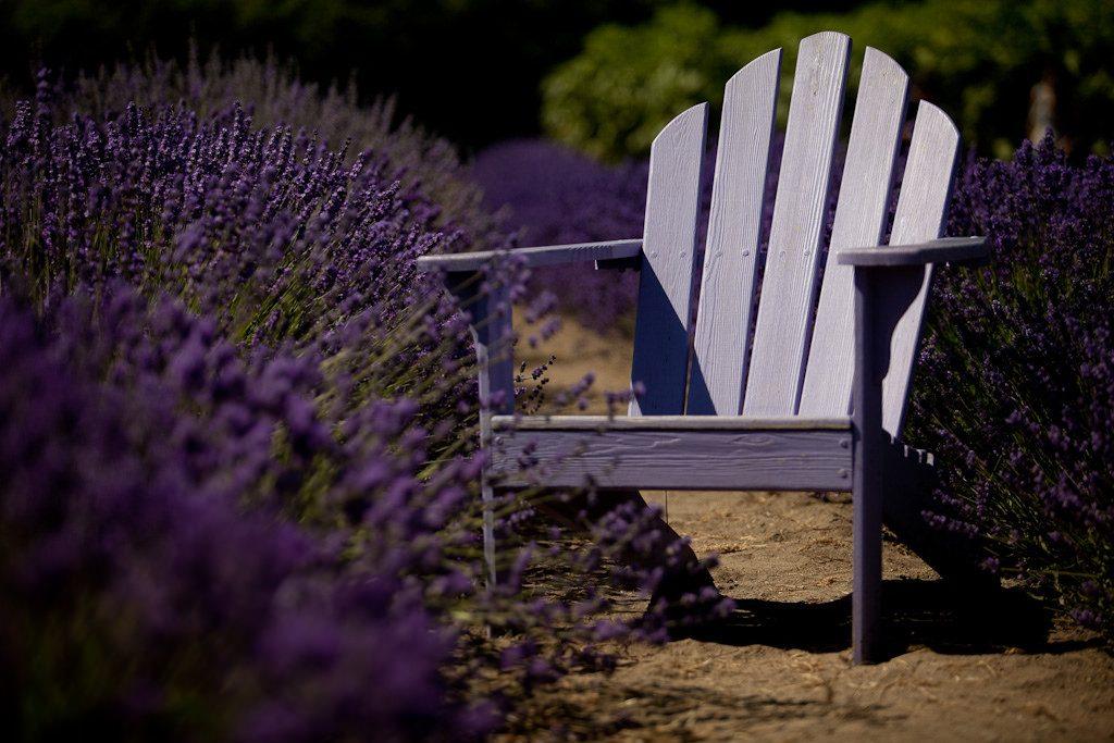 Chair at a lavender farm