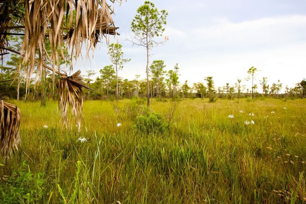 florida everglades wild orchids