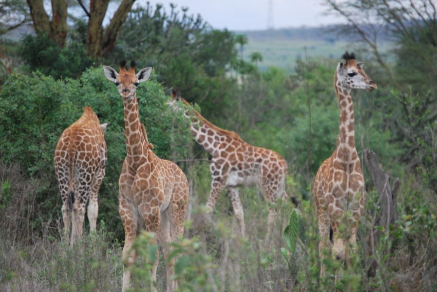 Revealed: The Secret life of Giraffes