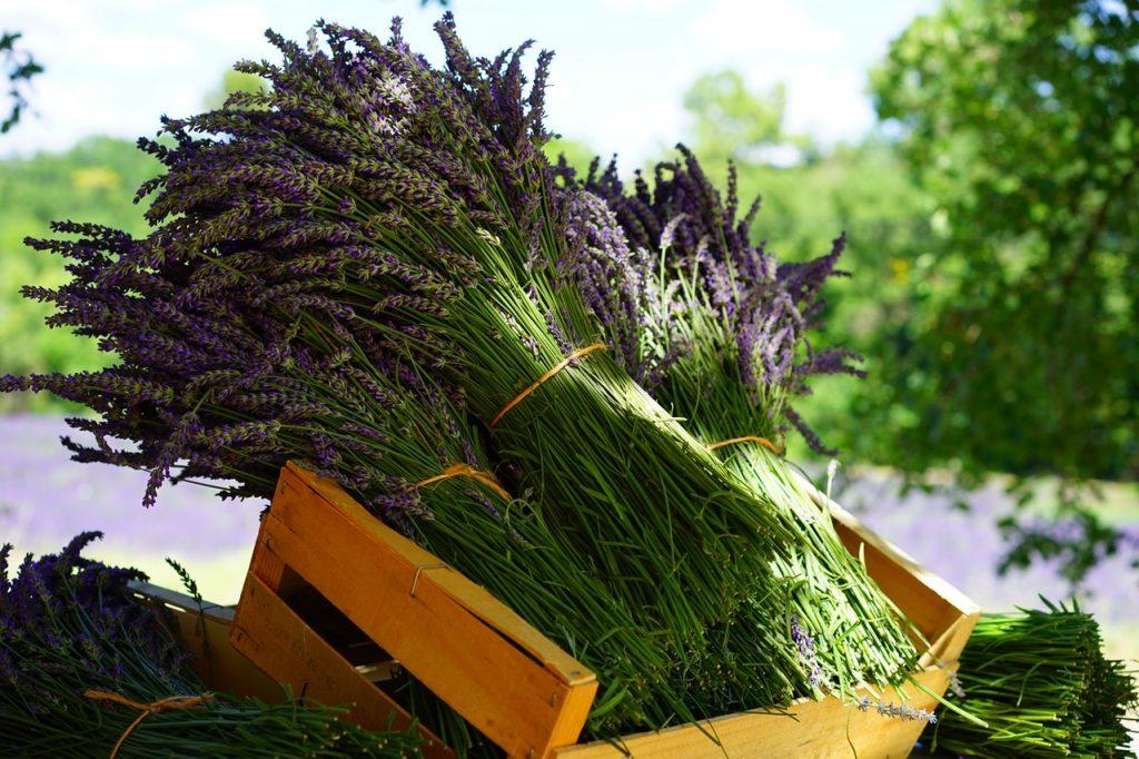 lavender bunches at a lavender farm