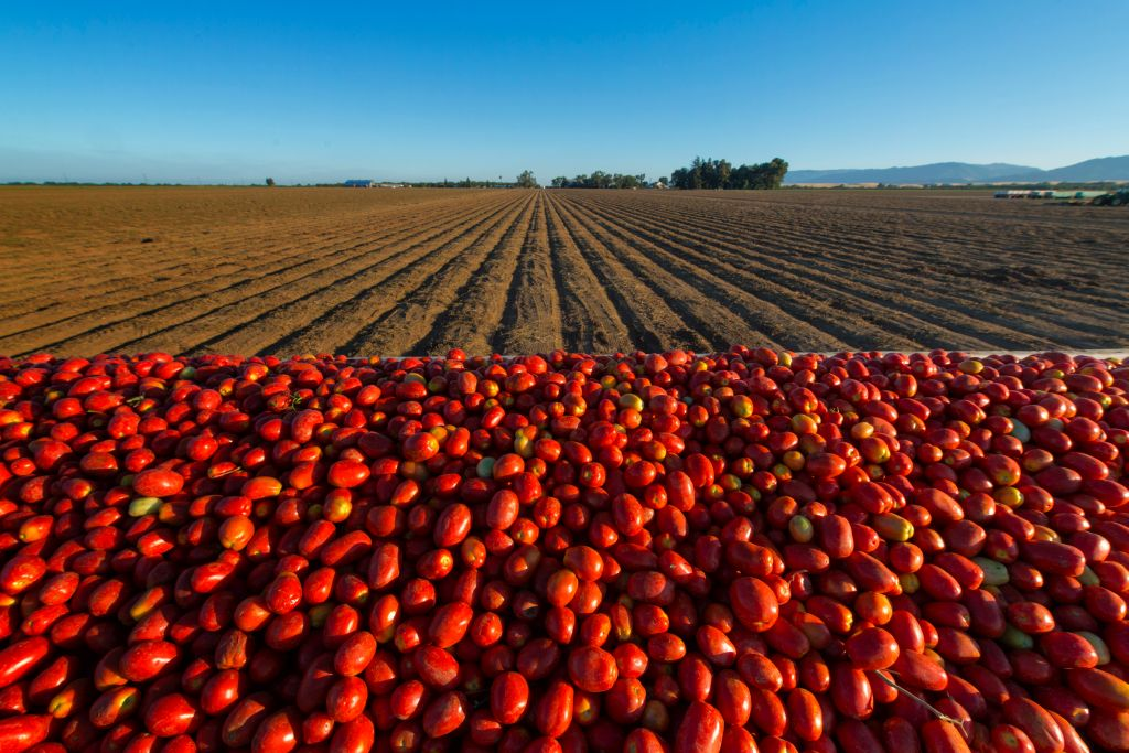 Tomato harvesting in Winters CA, Wednesday July 31, 2013.Photo Brian Baer sacramento