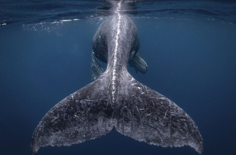 humpback whale nat geo 2018 travel photographer of the year 2018