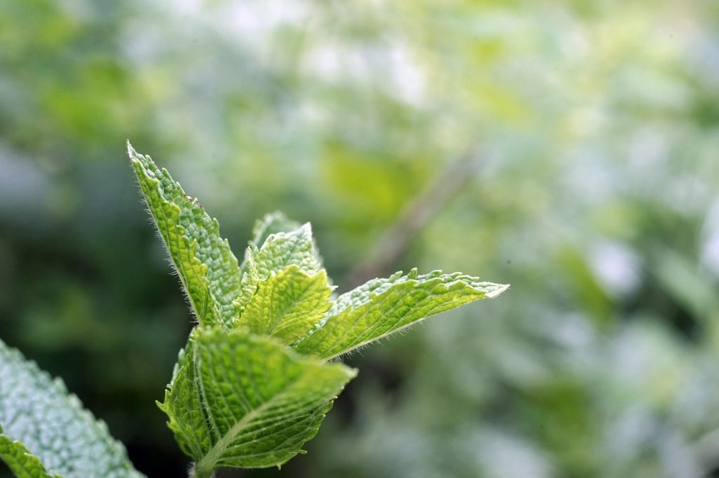 peppermint leaves home remedies