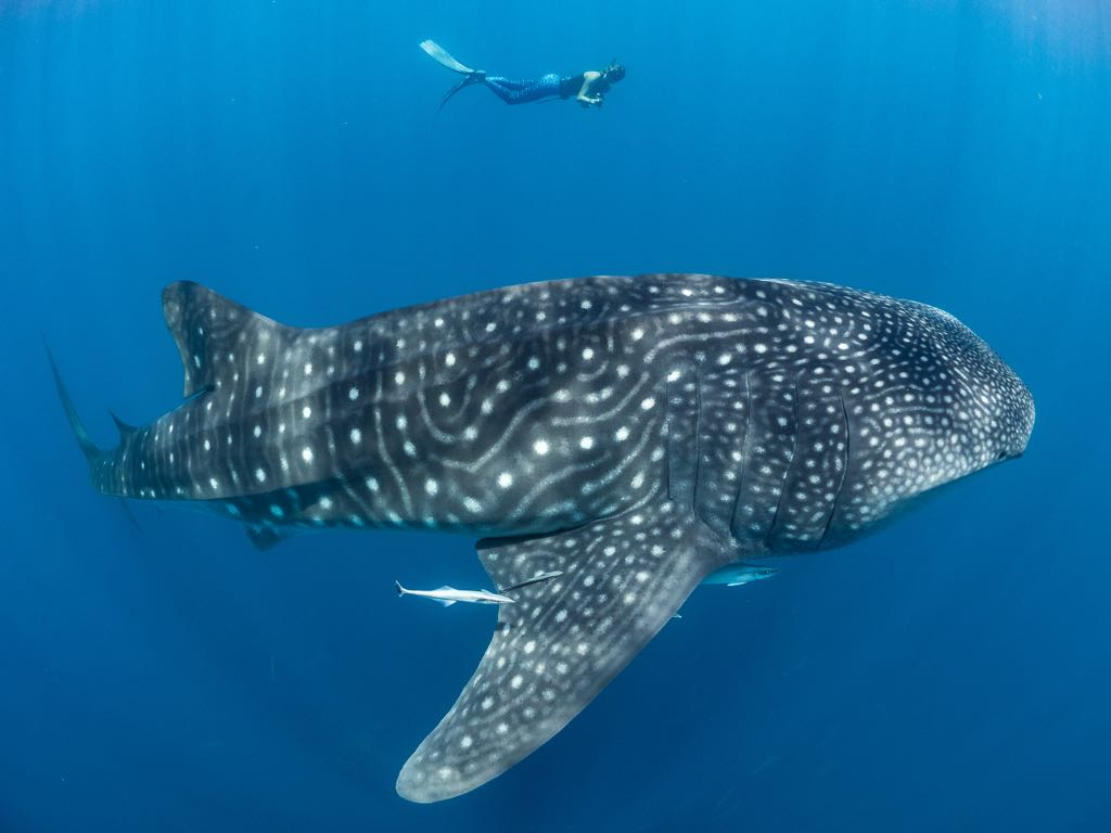 whale shark, Simon J Pierce, Stella Diamant