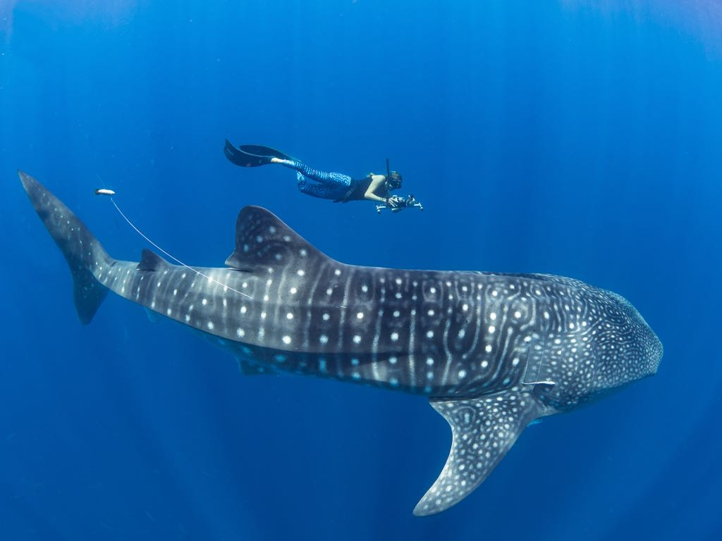 whale shark, Simon J Pierce, Stella Diamanat