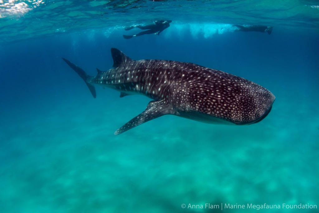 whale shark, Anna Flam Marine Megafauna Foundation