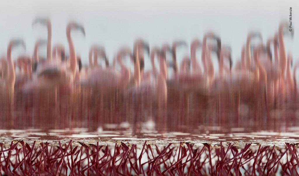 flamingo dance © Paul Mckenzie - Wildlife Photographer of the Year