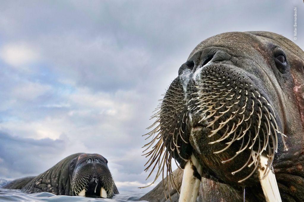 © Valter Bernadeschi - Wildlife Photographer of the Year - 1024 x 683