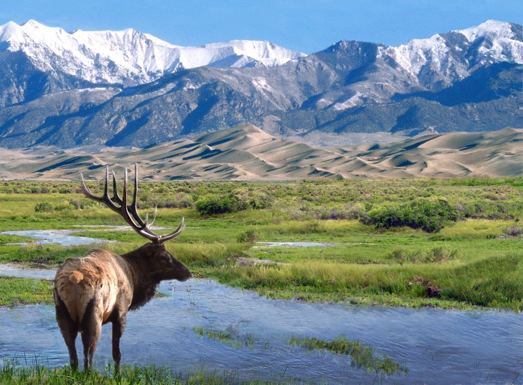 Elk at Big Spring Creek, Great Sand Dunes National Park outdoors