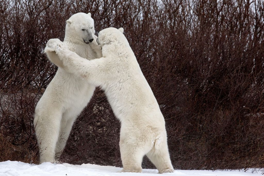 Polar Bear Fight (III) - Dances with Bears