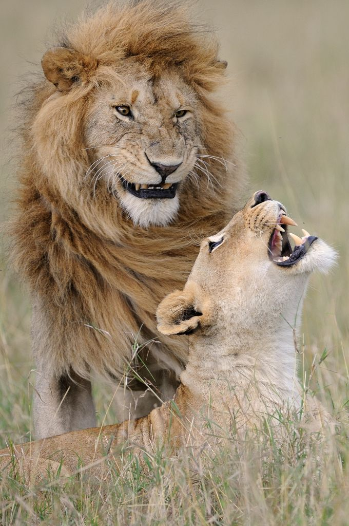 The Comedy Wildlife Photography Awards 2018 Muriel Vekemans bruxelles Belgium Phone: 473513634 Email: muphoto32@gmail.com Title: Happy ? Caption: NIKON D300 – F/4 – 1/640 - ISO-400 – 400mm Description: Lion mating Animal: Lion Location of shot: Masai Mara Kenya