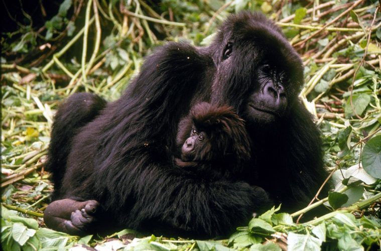 10 Surprising Gorilla Facts For World Gorilla Day
