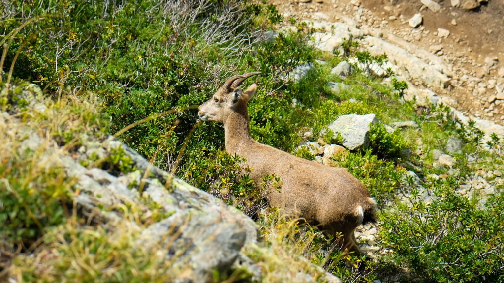 Chamonix french alps ibex