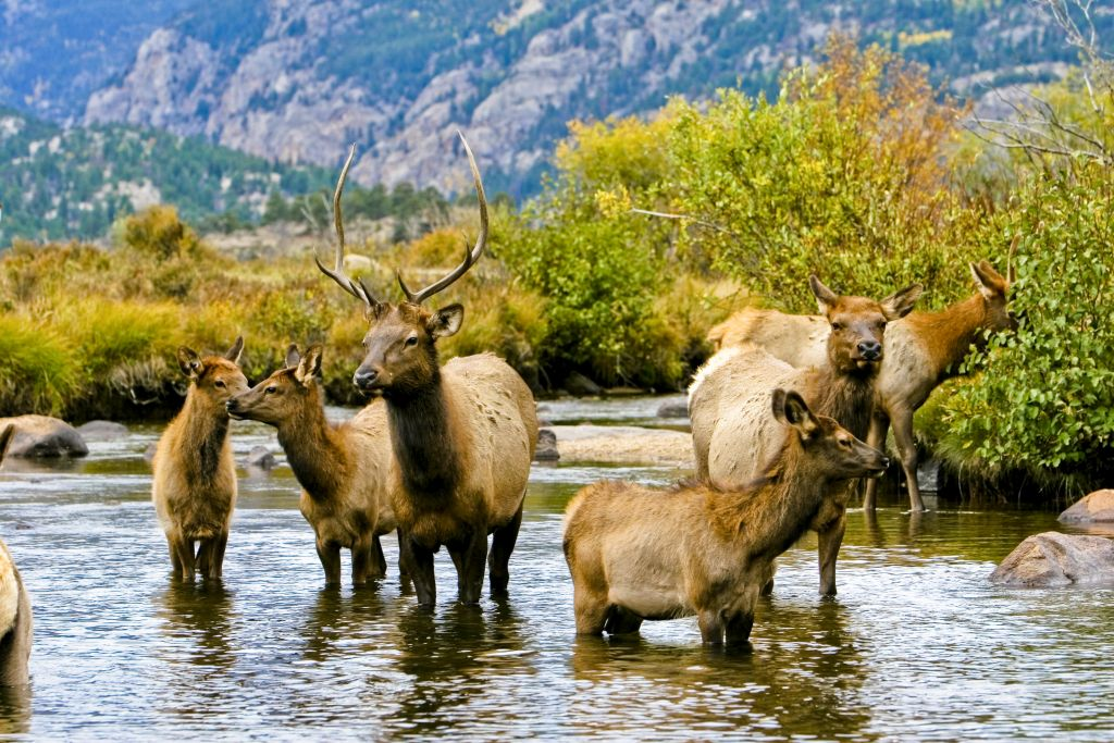 A resident herd of elk in Rocky Mountain National Park. wildlife tour