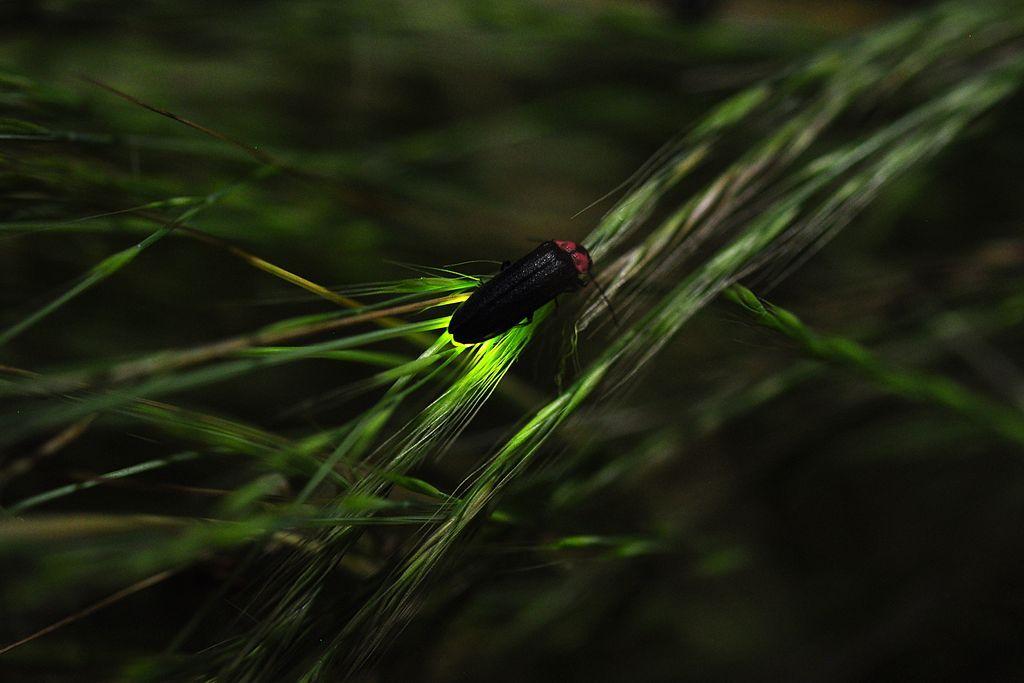 Fireflies nagano japan