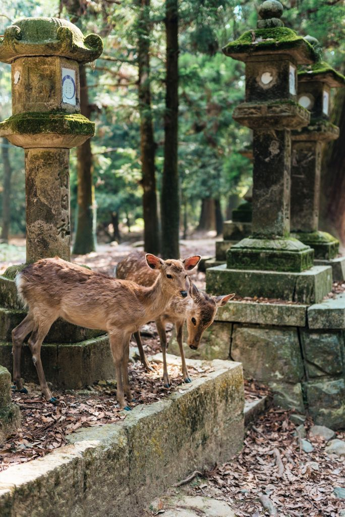 Sika deer in Nara Park — note one making the bowing action japan. Photo: ©Mark-Parren-Taylor