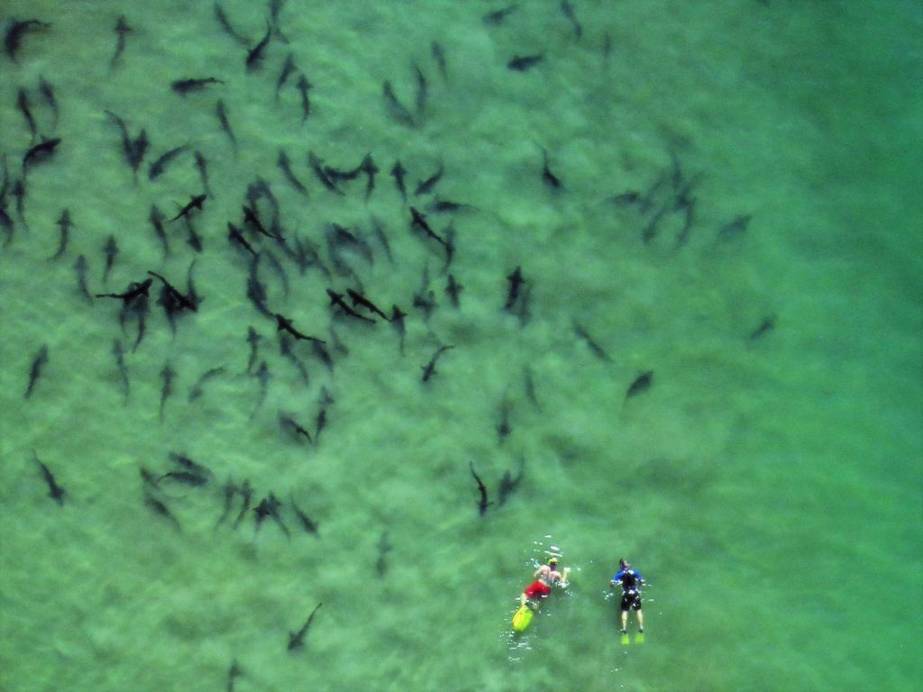 Leopard sharks congregate each summer off La Jolla Shores san diego. Photo: Birch Aquarium