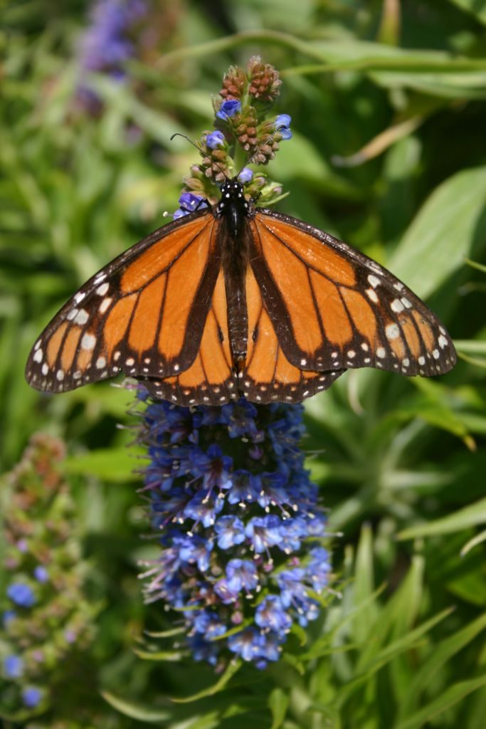 monarch butterfly california