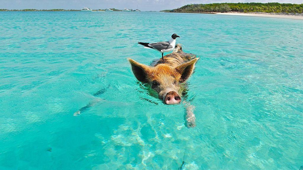 Big Major Cay (Pig Beach), Bahamas