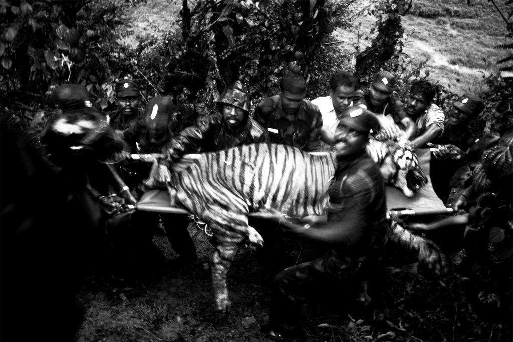 COF_124_Senthil Kumaran_Tiger_Mob killed_Valparai, Near Anamalai Tiger reserve_IMG_0808_C - 1024 x 683