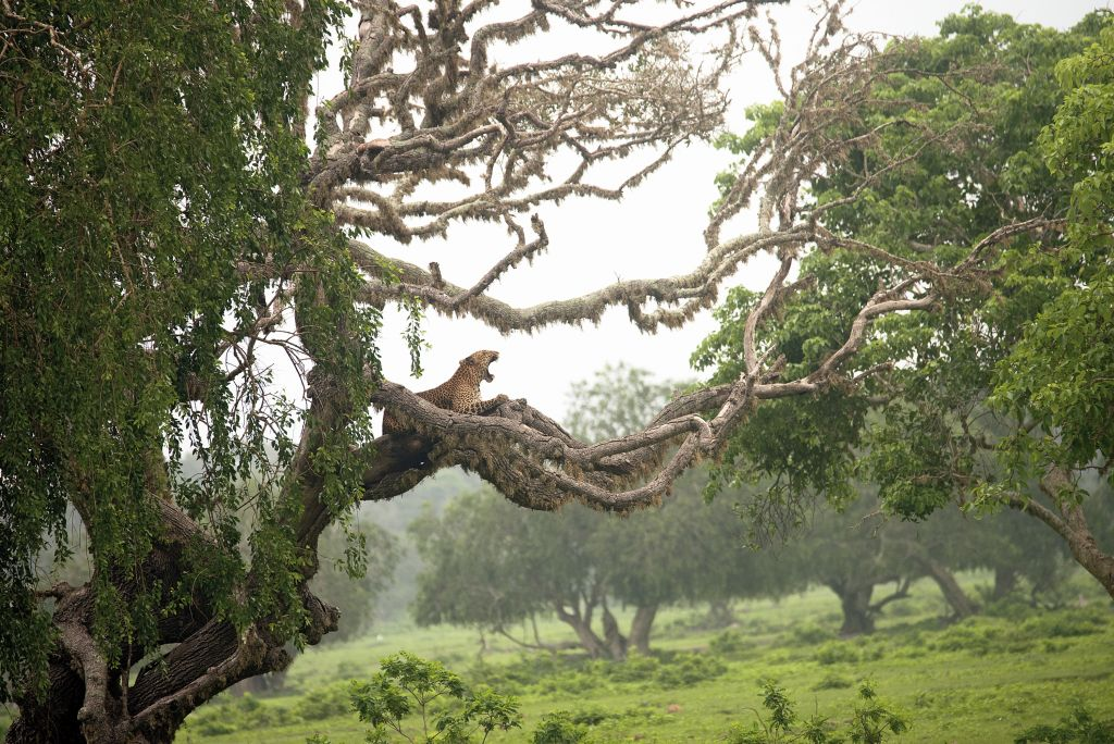 COF_Pasan Senevirathne_Leopard on Tree_DSC_7612_C - 1024 x 684