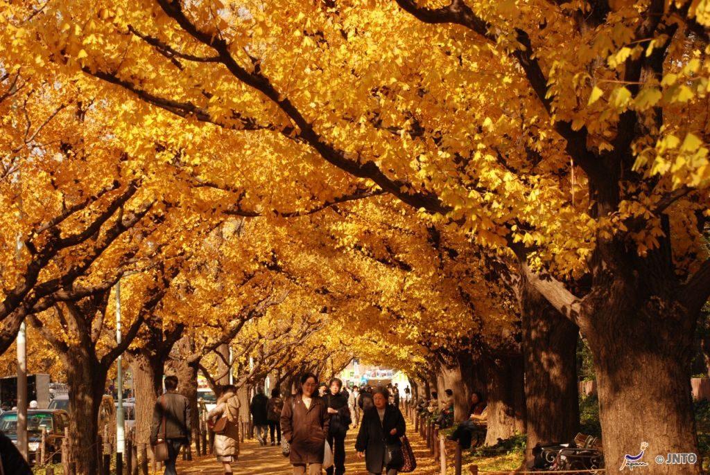 Ginko Trees Tokyo Japan