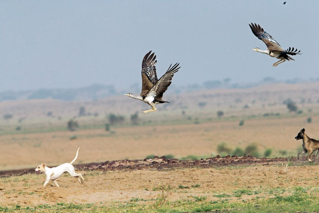 HM_Dhananjay Joshi_Great Indian Bustard_DNP_CR9V7232_SWPA 2018_Cc - 1024 x 683