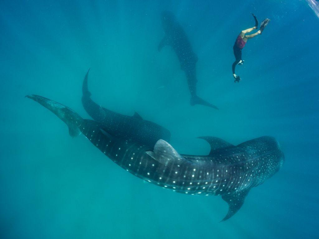 mafia island tanzania whale sharks