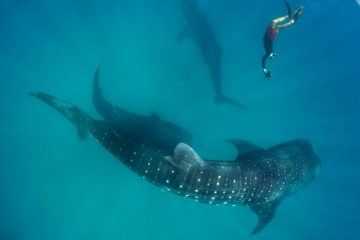 mafia island tanzania trip whale sharks
