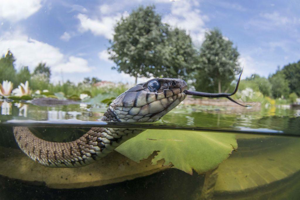 Grass snake JackPerks