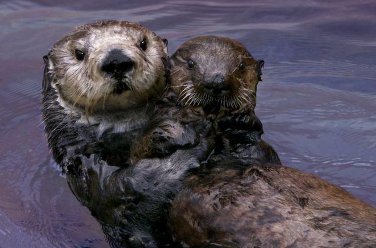 sea otters california