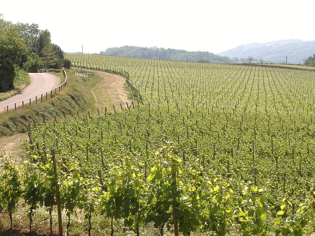 Vineyard Italian wine in Veneto