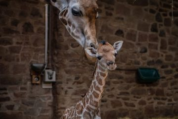 Rare giraffe calf born at Chester Zoo (1)