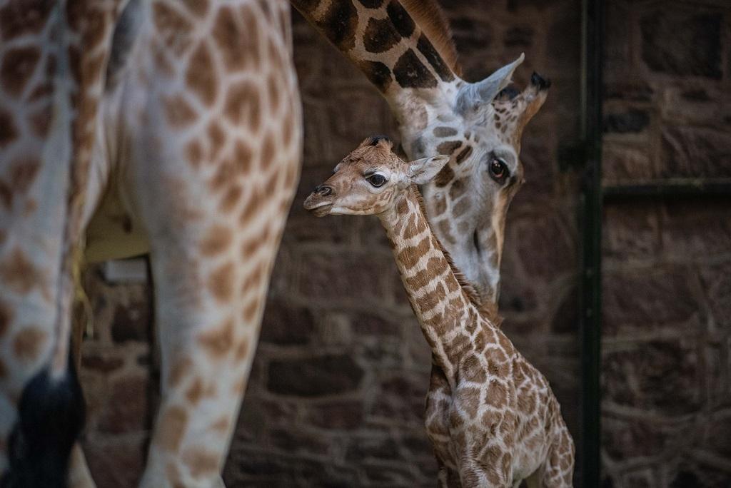 Rare giraffe calf born at Chester Zoo (18)