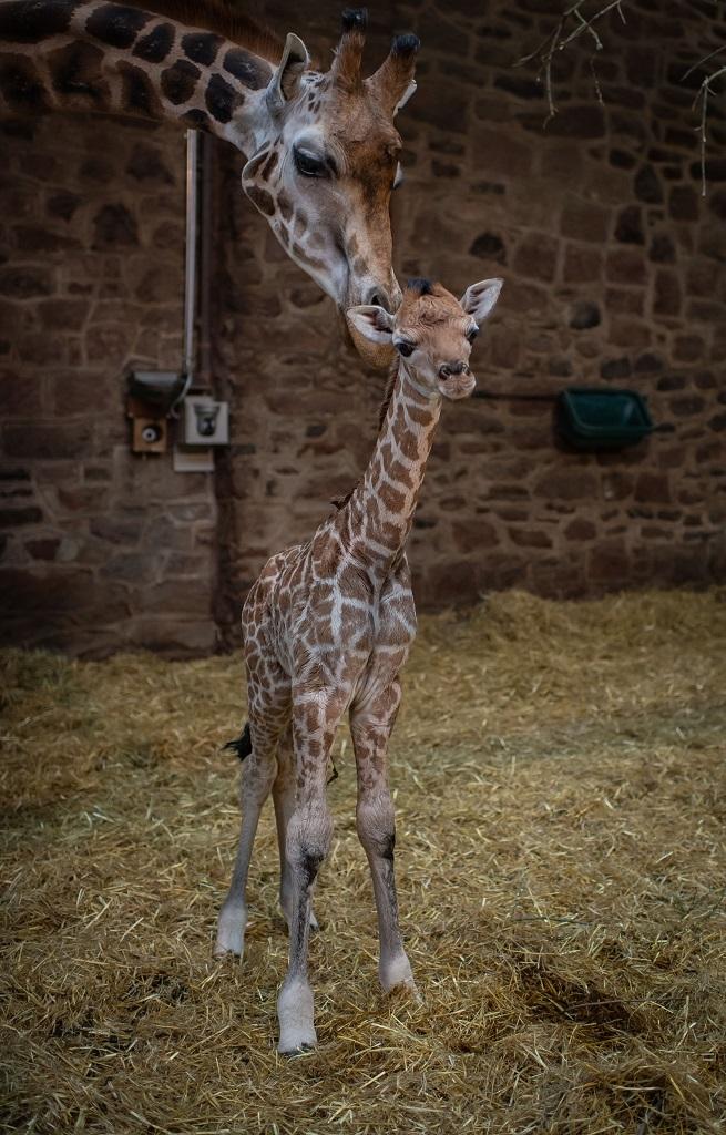 Rare giraffe calf born at Chester Zoo