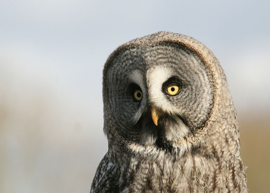 birds great grey owl