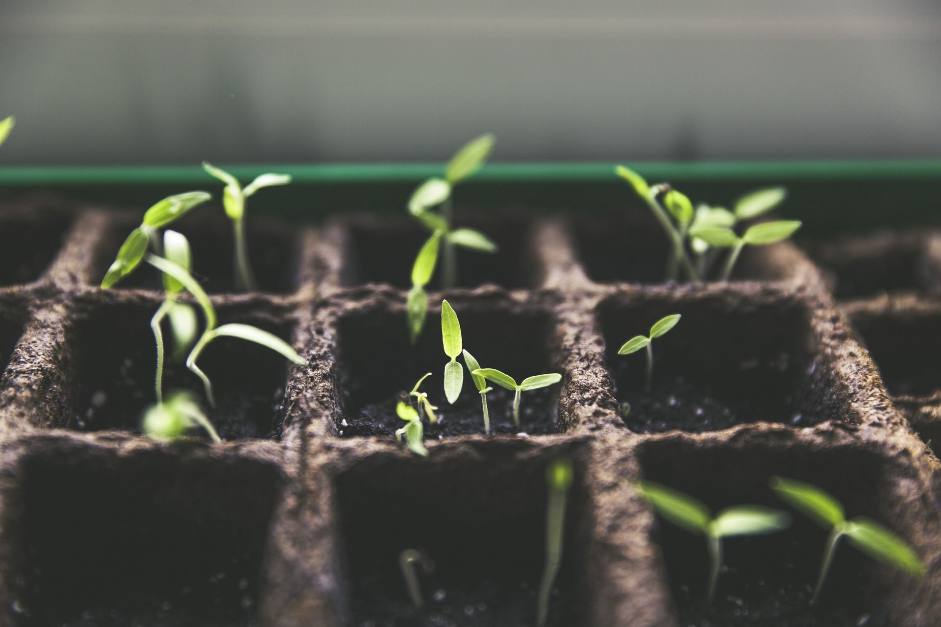 Tiny sprouts growing in a seed tray