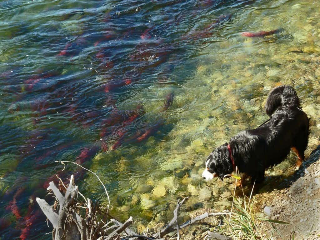 shaggy dog beside river with hundreds of red salmon below surface of water