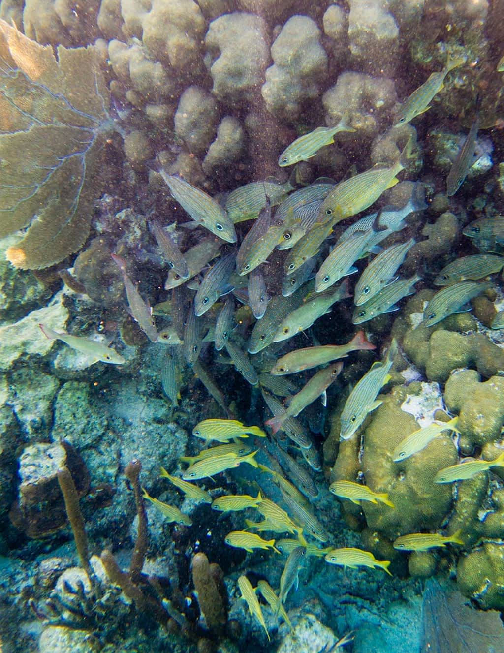 swarms of fish around some coral snorkel