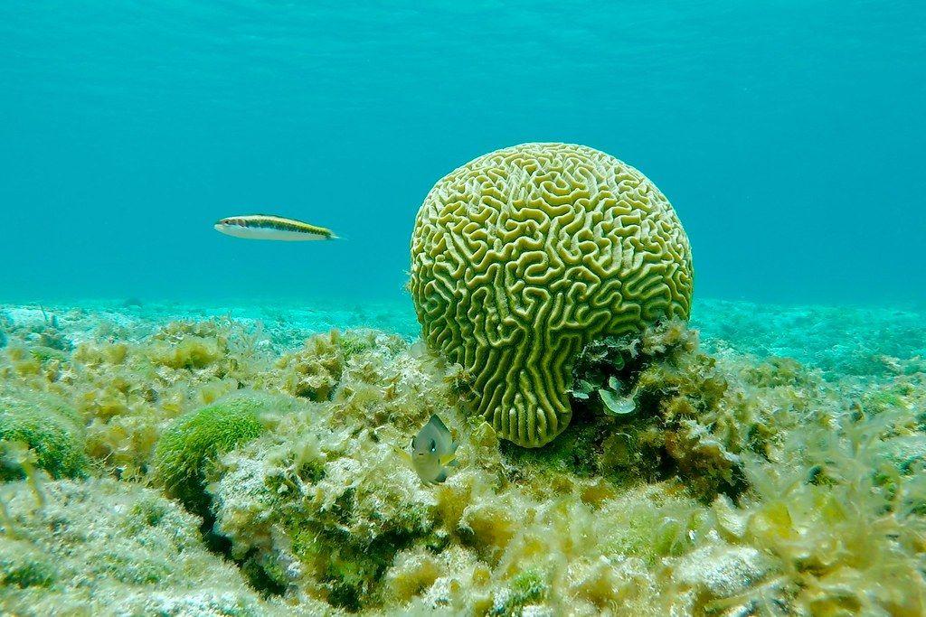 brain looking lime green sponge umungst the reef