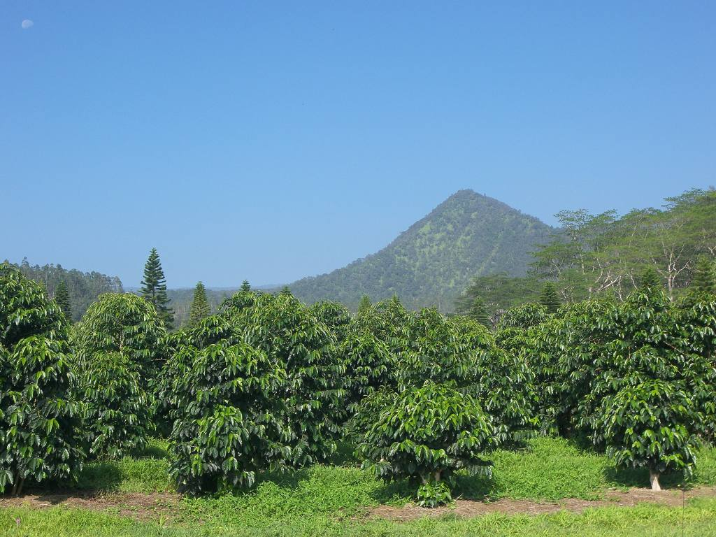 Coffee Plantation--Hawaii, USA