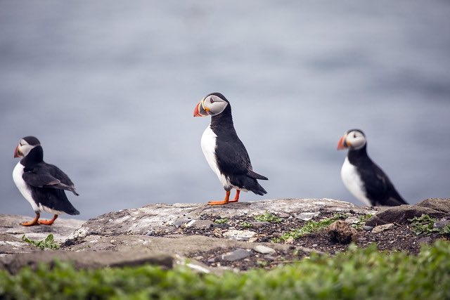 Puffin Island, Iceland
